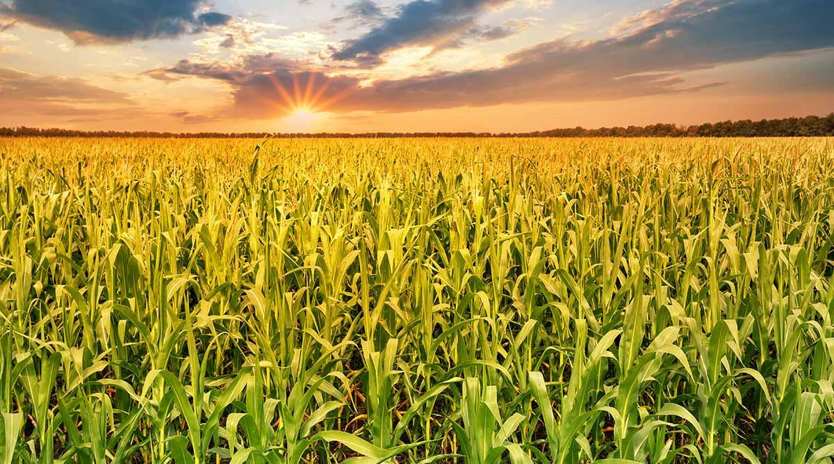 Estudio encuentra que el maíz, junto a otros cultivos, no logra adaptarse a la mayor concentración de CO2