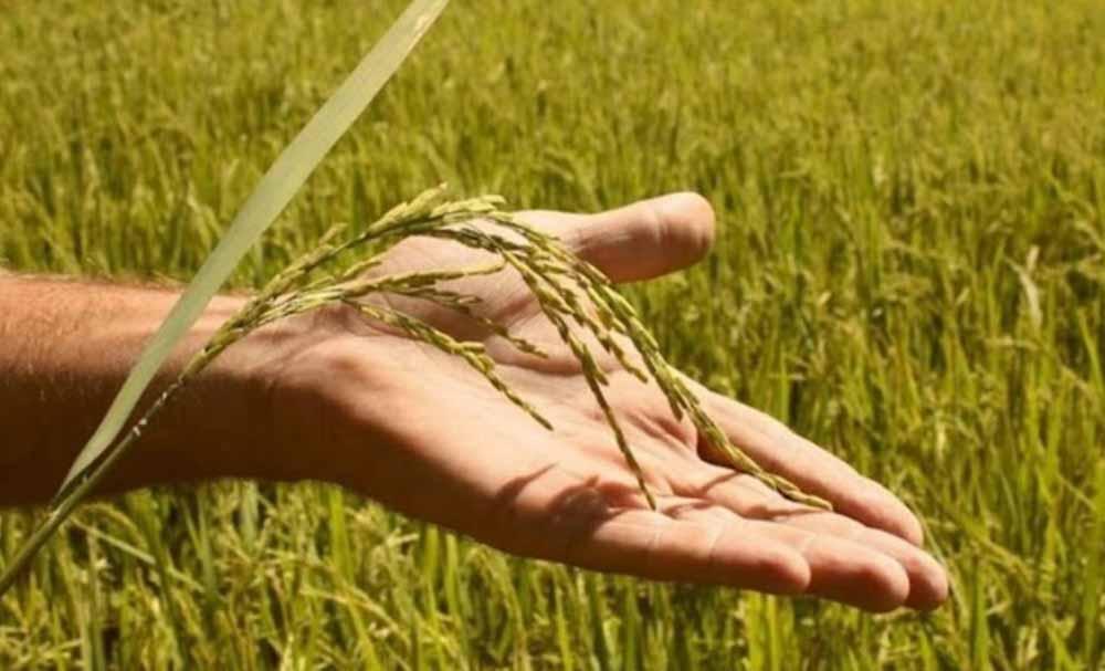 Arroz: crean una herramienta para la verificación de cultivares