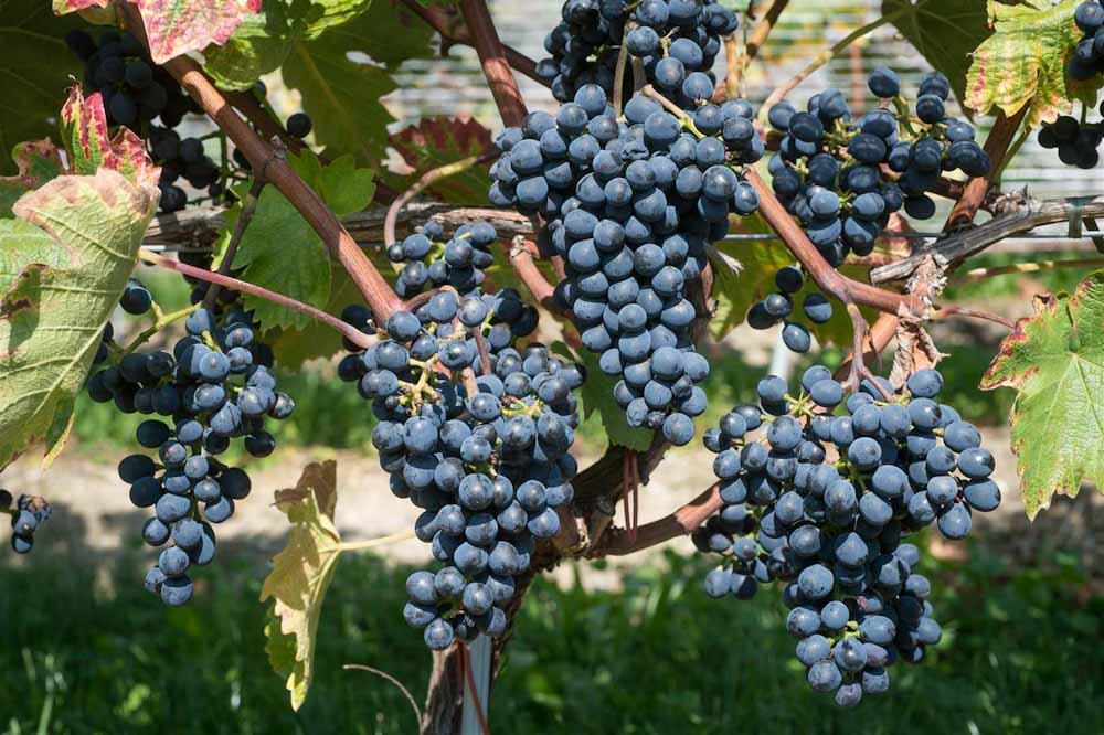 Una nueva variedad de uva podría ubicar al Reino Unido entre los países productores de vinos