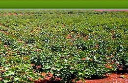 https://i1.wp.com/www.bioenergyplantations.com/images/main_farm_farm3.jpg