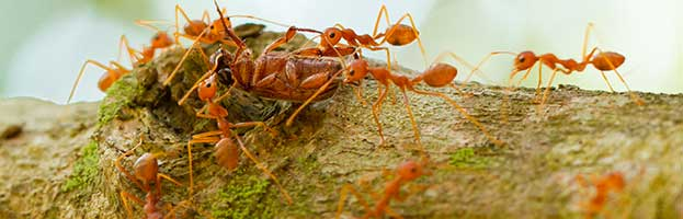 Ant Facts Fire Ants About