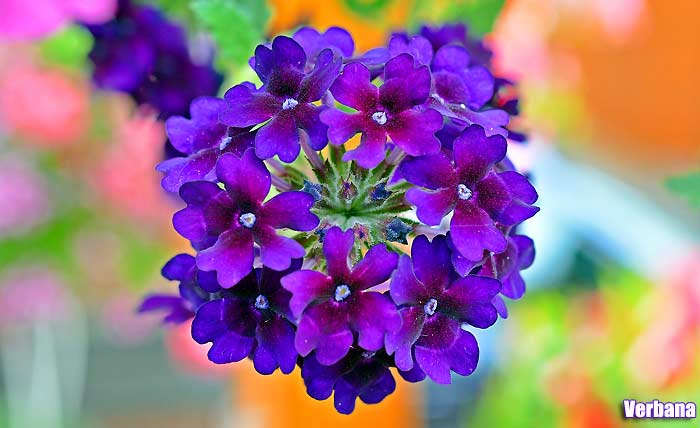 Tall Purple Flowers   Small Purple Flowers   To 25 Purple Flower Names Verbena