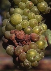 Tight clustered Chardonnay prone to rot