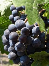 Loose clustered Merlot less prone to rot