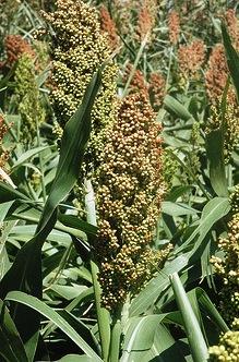 Grain sorghum at the Texas A&M AgriLife Research farm near Bushland. Texas A&M AgriLIfe Research photo by Kay Ledbetter, via Flickr.