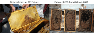 To the left is a picture of a representative frame from the honeybee colonies Lu poisoned with imidacloprid in his 2012 study. On the right are colonies afflicted with CCD. Note that the frames from a CCD colony (Oldroyd, 2007) consist almost entirely of sealed brood, while the frame Lu is claiming is afflicted by CCD (Fig. 3 in his 2012 paper) consists entirely of honey, and no sealed brood. The pictures Lu shows in his papers do not resemble those of hives affected by CCD, yet despite this he still claims he has replicated CCD.