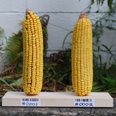 Join The GMO Corn Experiment!