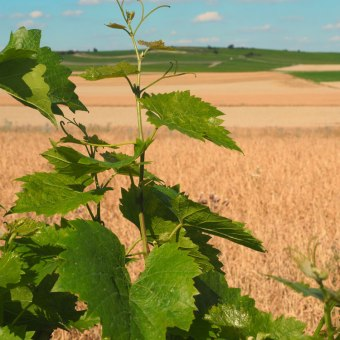 Wein neben Sanders Kornfeldern