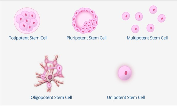 5 Types of Stem Cells by Diversification Potential
