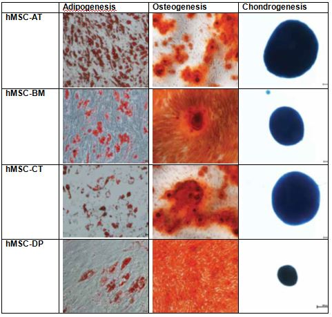 Suitability of Tissue-Specific hMSCs for Varied Differentiation Outcomes