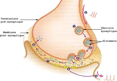 La transmission synaptique - Synapses - Le message nerveux - La perception des couleurs par l'oeil - bioinformatics.org