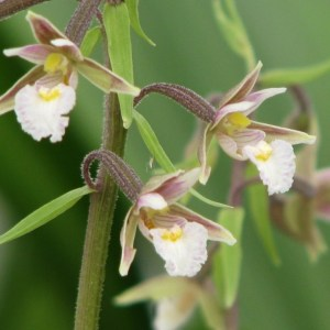 Epipactis palustris 3
