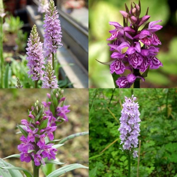 assortiment orchidées dactylorhiza