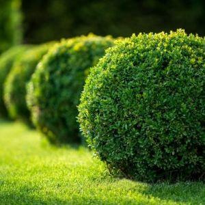 arbustes d'ornement