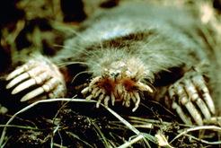 Biokids Kids Inquiry Of Diverse Species Condylura