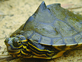 Barbour's map turtle