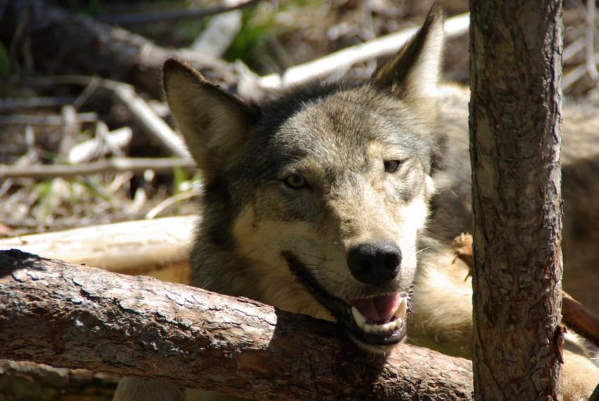 Diamond pack wolf