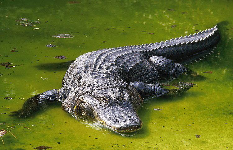 američki aligator