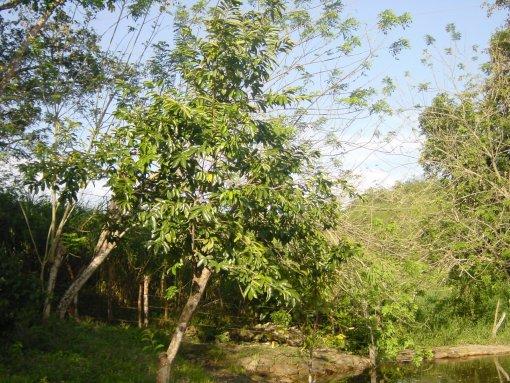 Corossolier l'arbre qui produit des feuilles anticancer