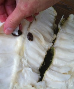 La pulpe fraîche du fruit du corossolier, le graviola corossol un anticancer naturel puissant