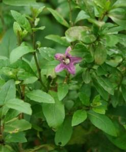 La fleur de Goji bio Himalaya