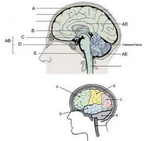 Label The Brain Anatomy Diagram Answers  camizu