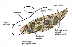Plantlike Protists