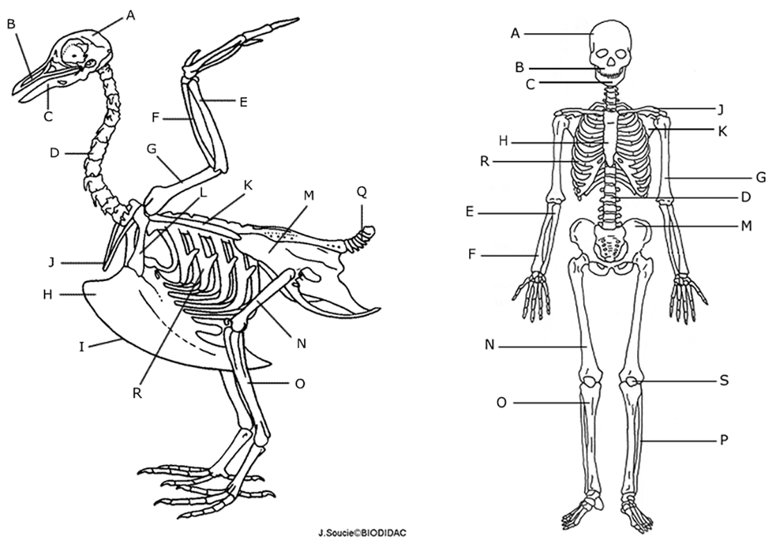 Owl Pellet Bone Chart And Skeleton Diagram