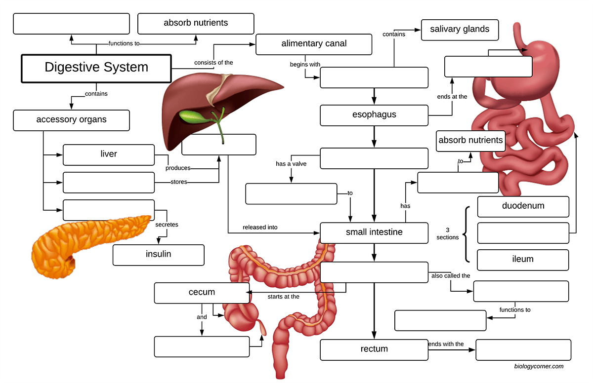 Digestive System Concept Map