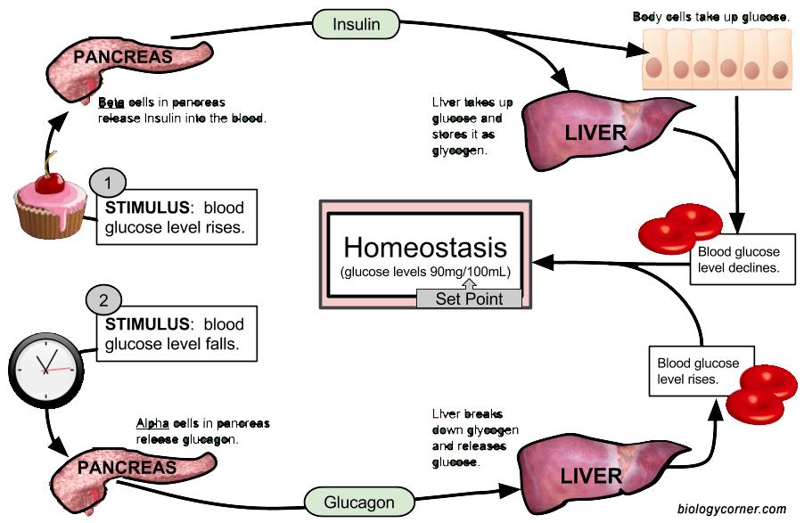 Sugar Homeostasis Diagram