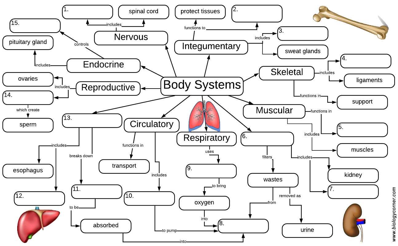 Organ Systems Graphic Organizer