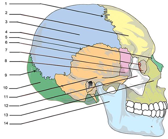 Label The Bones Of The Skull