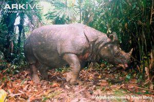 Ρινόκερος της Ιάβας (Rhinoceros sondaicus)Πηγή: Arkive.org
