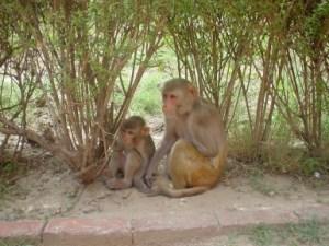 Rhesus_Macaques