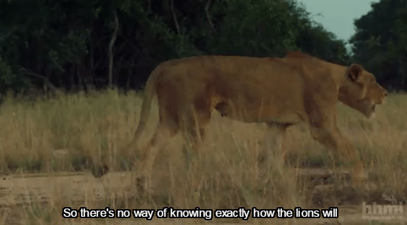 Tracking Lion-Recovery-Gorongosa_National_Park