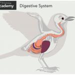 Ανατομία πτηνών: πολυμεσική εφαρμογή για όλα τα χαρακτηριστικά των πτηνών