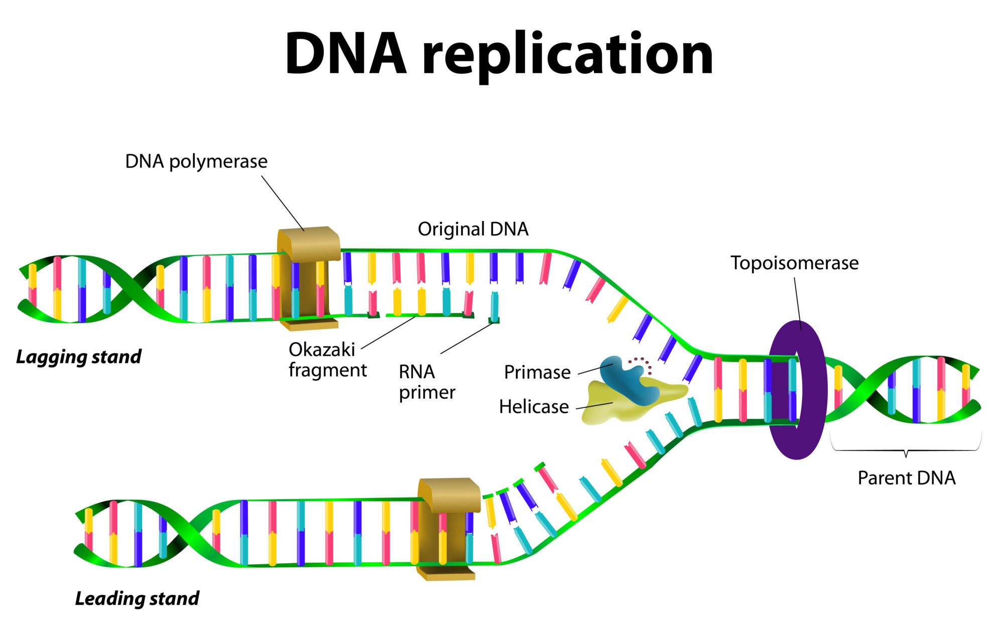Dna Structure Amp Dna Replication
