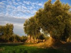 Historia del Aceite de oliva