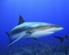 Artritis y Cartilago de Tiburón