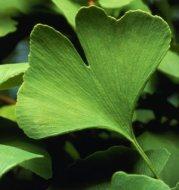 Ginkgo biloba: Origen, Características y Propiedades Medicinales