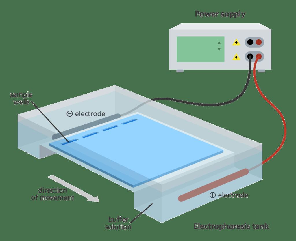 DNA gel electrophoresis chamber setup.