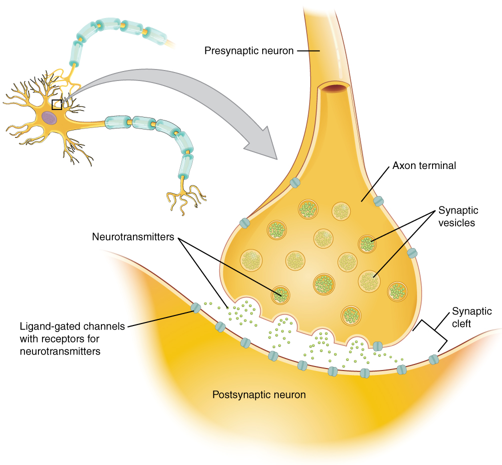 Diagram of the chemical synapse and synaptic transmission.