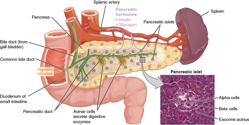 Diagram of the pancreas with the anatomical structure labelled.
