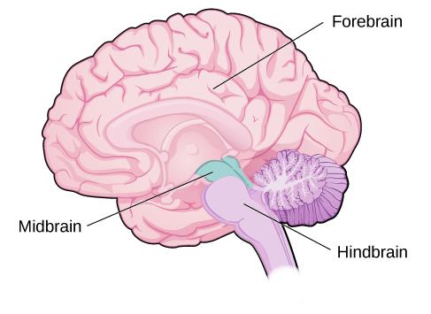 forebrain, midbrain and hindbrain