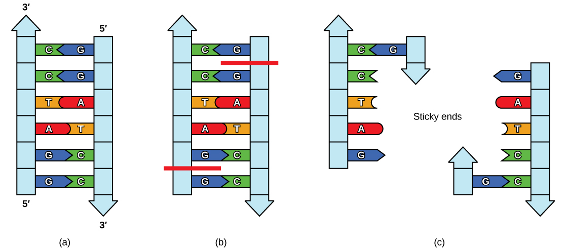 Restriction enzyme BamHI recognition sequence and sticky ends.