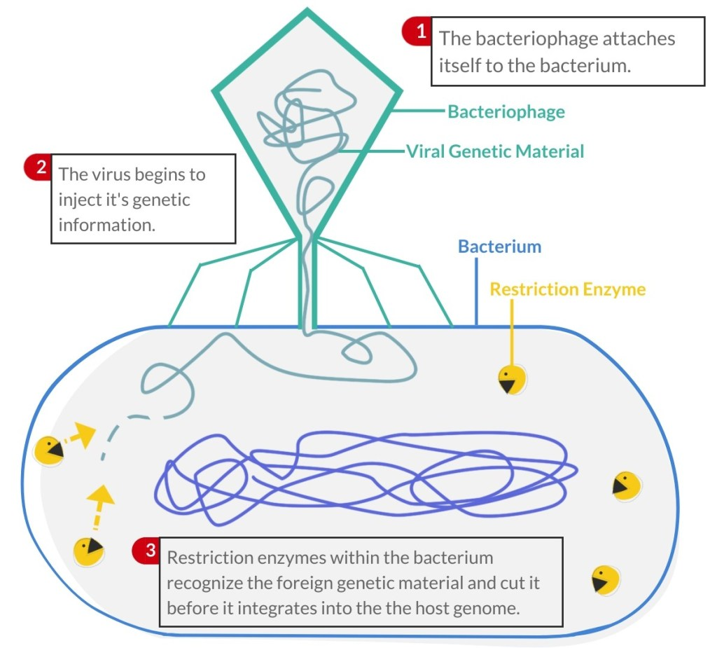 Bacteriophage injecting DNA into bacterium with restriction enzymes cutting viral DNA.