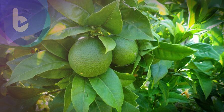 中秋吃柚子要小心  配這五種「藥」有危險!