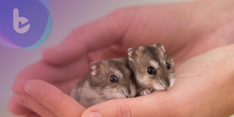 外研究證實:電場治療已順利成功醫治糖尿病老鼠