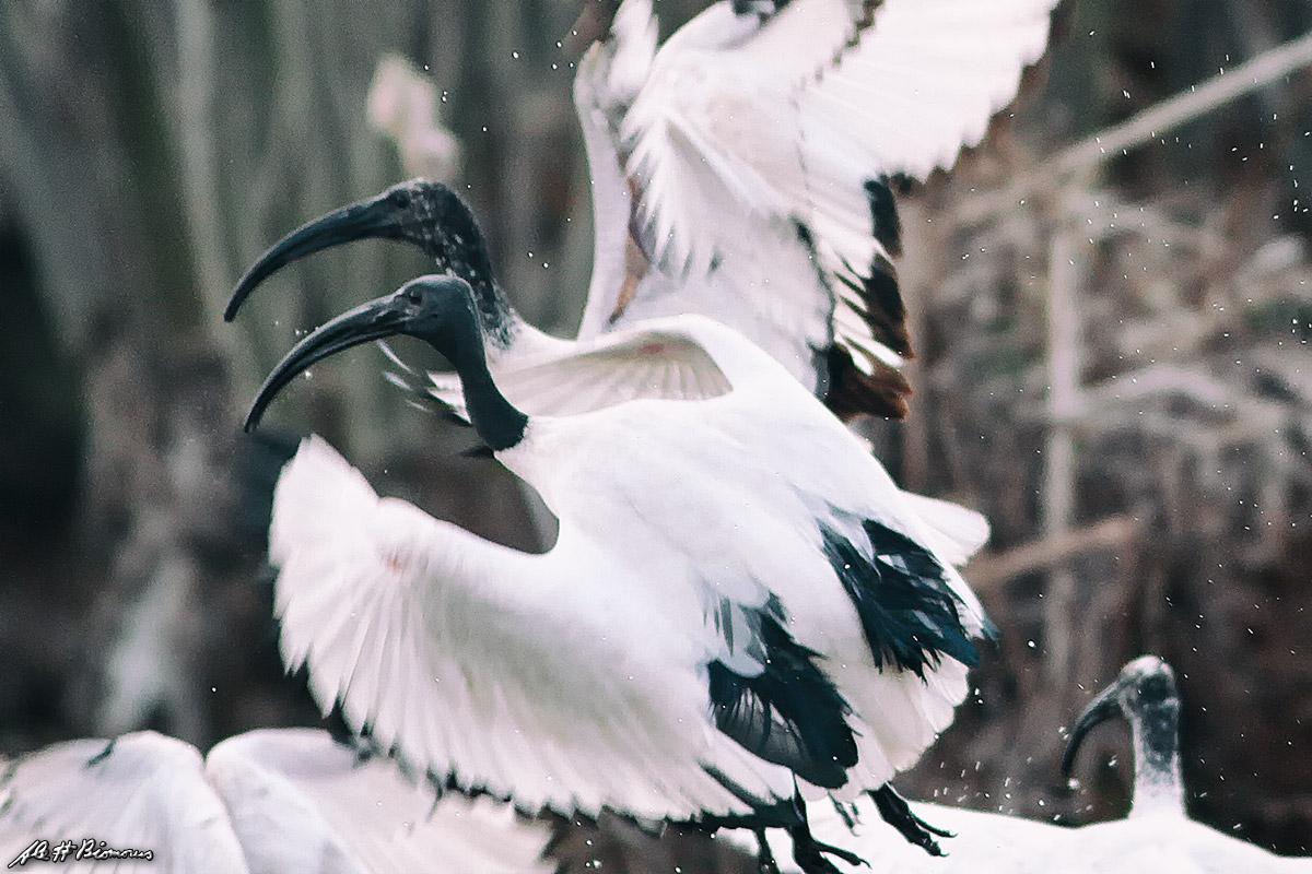 La sacralità dell'Ibis