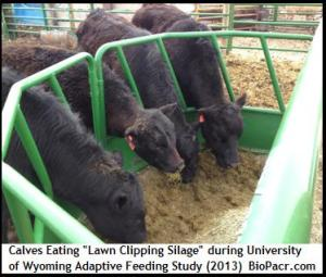 cows_eating_lawn_clipping_silage(biopacr.com)